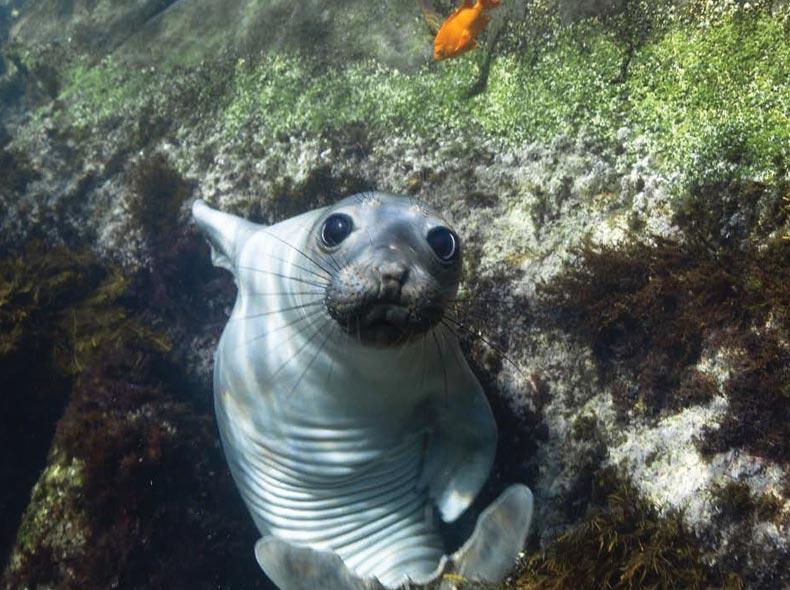 Vista acuatica de foca mirando a cámara
