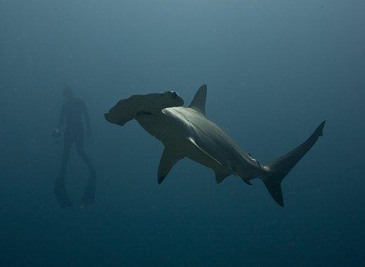 Escena submarina de buzo con pez martillo